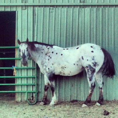 appaloosa against blue-green barn (c) 2013 Holly Troy