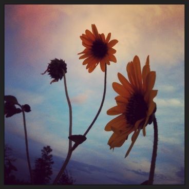 twilight sunflowers (c) Holly Troy 2013