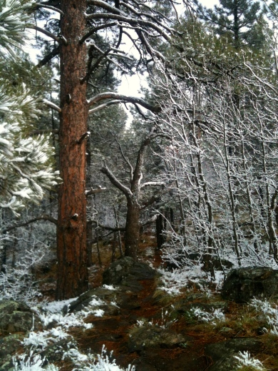 pine and spring snow (c) 2014 Holly Troy