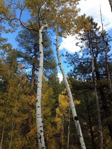 Aspen on the Schultz Creek Trail (c) 2014 Holly Troy